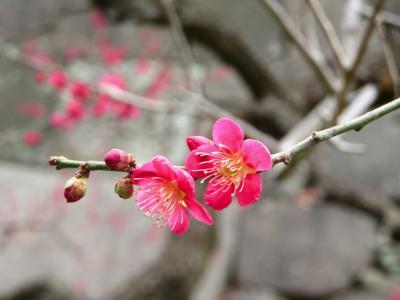 Japan The Imperial Palace East Garden 皇居東御苑の梅と河津桜 ~ミツバチばあやの冒険~