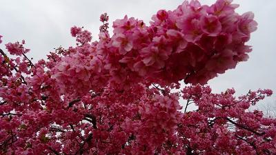 伊丹市車塚にある笹原公園へ、満開の河津桜を見に行きました 上巻。