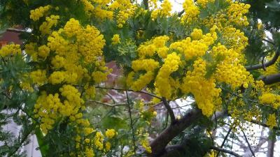 伊丹市車塚にある笹原公園へ、満開の河津桜を見に行きました 下巻。