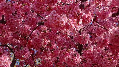 昨日に続き、昆陽南公園の河津桜を見て来ました 下巻。