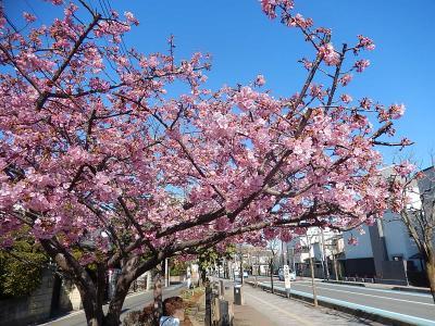 ふじみ野市鶴ケ岡中央通りの河津桜は五分咲きになりました