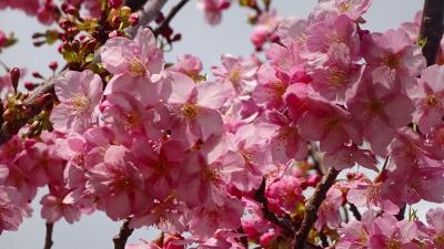 続けて、伊丹市3ヶ所目の河津桜(緑ヶ丘公園)を見て来ました 上巻。