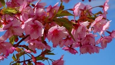 続けて、伊丹市3ヶ所目の河津桜(緑ヶ丘公園)を見て来ました 下巻。