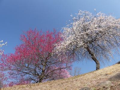 みかも山「万葉庭園」のウメ_2019_ほぼ満開、見頃です。(栃木県・佐野市)
