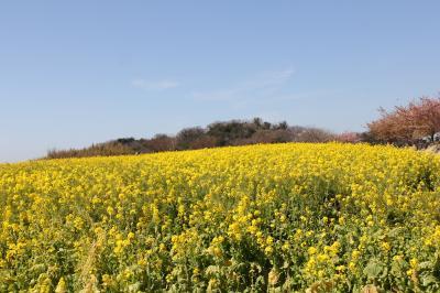 〔知多半島南知多〕観光農園花ひろばに菜の花を見に行って来ました。