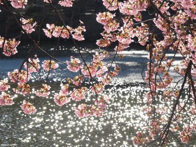 早咲きの桜ウォッチング@代々木公園と新宿御苑