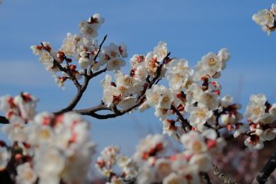 ぽかぽか陽気に誘われて梅の花 ~みとろフルーツパーク~