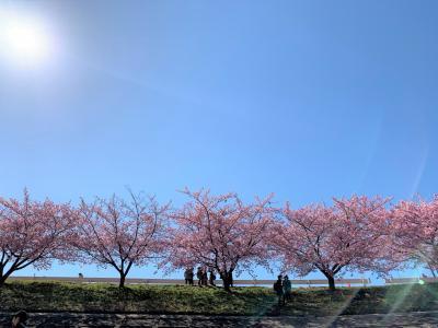 岡崎城と乙川河津桜