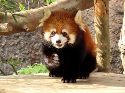 高知県立のいち動物公園 お久しぶり!! マロンちゃんの顔立ちに遺伝子の不思議と素晴らしさを感じます!!
