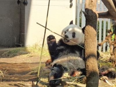 起きているシャンシャンに会いたい…!2日続けて上野動物園 2019年3月