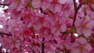 伊丹市の東野・荻野地区の苗圃に咲く、早咲きの桜を見に行きました その1。