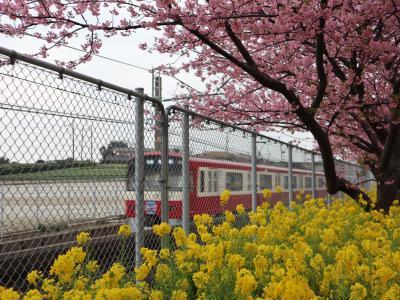 河津桜は京浜急行に乗って
