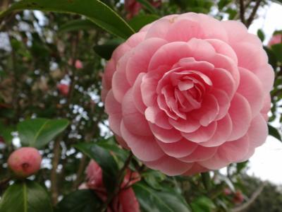 春の明石公園2018-桜と椿
