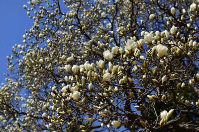 3月サンシュウとコブシそしておまけに寒サクラの新宿御苑