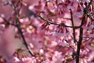 ほぼ満開の、おかめ桜を楽しむ