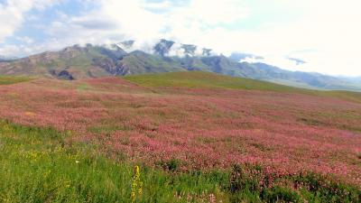 キルギス・アドベンチャー(4)高原一面に咲くエスパルセットのお花畑を眺め、ソンクル湖畔へ
