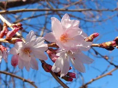 美しかった冬桜その後(3月8日観察)