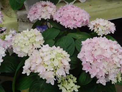 ガーデンセンターで見られた春の花(25)