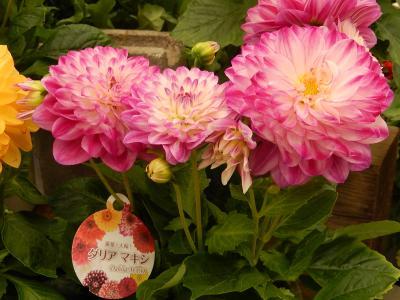 ガーデンセンターで見られた春の花(26)