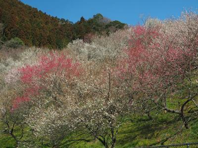 絶景の陣馬山から高尾梅郷梅まつりへ 奥高尾縦走路と梅が咲き誇る木下沢梅林