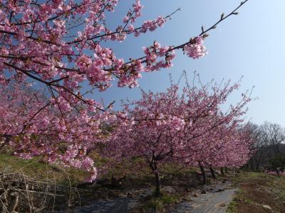 「太田・河津桜の里」の河津桜_2019_葉が出始めていますが、まだ見頃です。(群馬県・太田市)