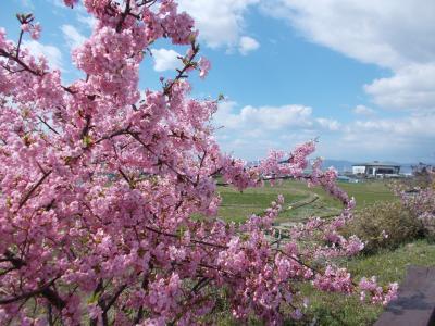 大阪でも河津桜