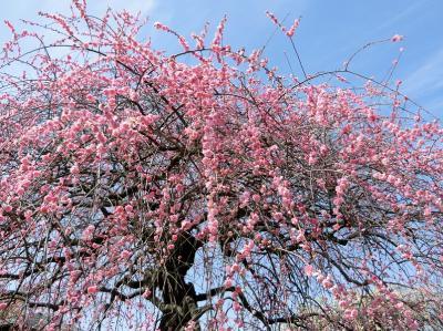 久し振りの快晴に誘われ、大阪万博記念公園・自然文化園の梅林で、「梅三昧の一日」を過ごす。(2019)