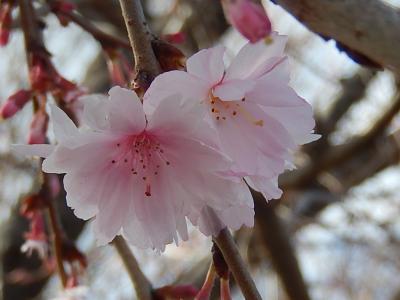美しかった冬桜その後(3月11日観察)