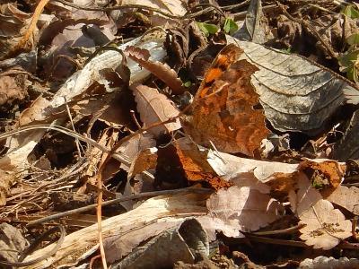 いよいよ春を迎えた所沢市南永井の風景①今年初めて蝶が見られました