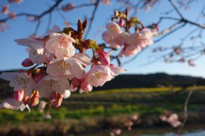 早春の房総半島 花の旅 VOL.1「大阪出発から鋸山・富浦」編