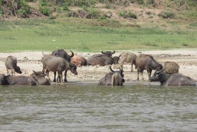 2019早春、ベトナムとラオスの旅(23/28):2月15日(5):ルアンパバーン(20):メコン川クルーズ、酒造りの村、漁船、水牛