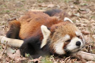 やっと地元の埼玉こども動物自然公園(北園)仲良しコツメカワウソ家族のスパルタ教育や適度な人混みで楽しかったなかよしコーナーから地上で寝るようになったレッサーパンダの可愛い寝顔まで