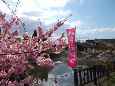 京都でも河津桜