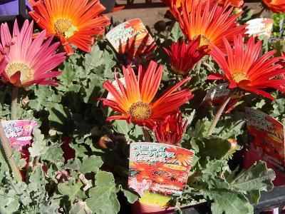 ガーデンセンターで見られた春の花(27)