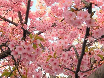 ふじみ野市鶴ケ岡中央通りの河津桜は満開になりました