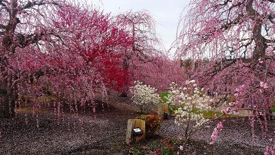 しだれ梅の絶景「鈴鹿の森庭園」と「いなべ市梅林公園」ツアー(08) 鈴鹿の森庭園見学 2/4。