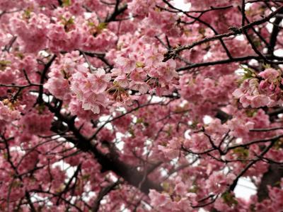 河津桜を見ながら ぶらり散歩