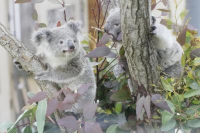 やっと地元の埼玉こども動物自然公園(東園)やっと会えたコアラの赤ちゃんピリーとリリーやぎゅうぎゅうなカピバラ温泉から外展示コアラのピノっちの冒険と飼育員さんにだっこされてのお帰りまで