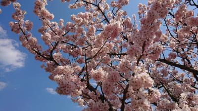 春木径・幸せ道桜まつり 2019.3.15