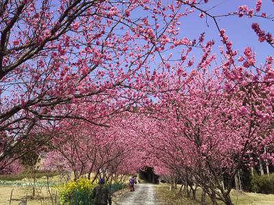 春の天竜さんぽ~花桃とワインセラーと二俣城址~