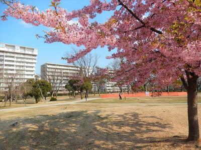 ふじみ野市福岡中央公園の河津桜は満開でした