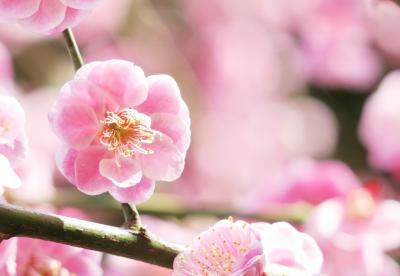 Japan 高尾の梅林 ~ミツバチばあやの冒険~