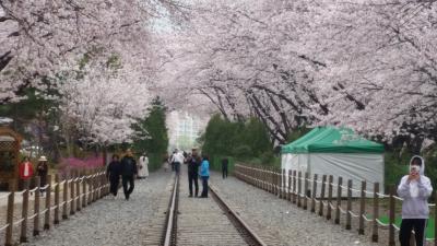 春彩!!いいとこどり韓国桜めぐり3日間 2日目 鎮海市、広安里、海雲台、