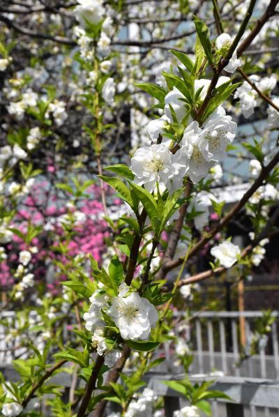 二ヶ領用水を彩る花桃と河津桜2019 ~中原・武蔵小杉の3月~(川崎)