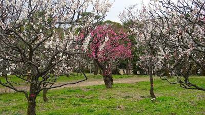 万博公園へ梅林を見に行きました(2) 日本庭園の梅林を見学 下巻。