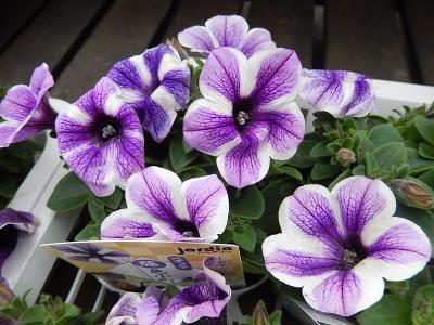 ガーデンセンターで見られた春の花(28)