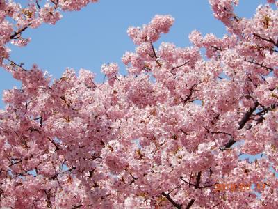 大堀川リバーサイドパークの緋寒桜が満開です!