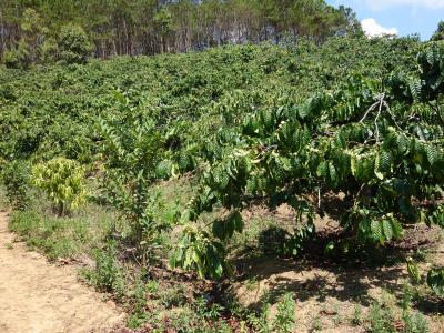 ダラットのコーヒー農園に行ってきました。