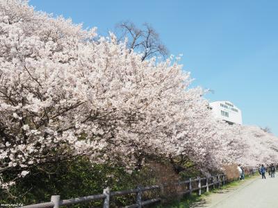 春めき!煌めき!ときめき!南足柄桜まつり