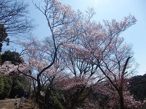 八王子散策(2) 観桜ハイク